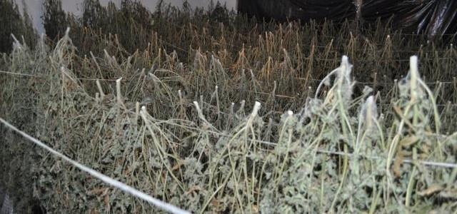 Miał blisko 900 porcji marihuany przygotowanych do sprzedaży. Do zatrzymania doszło na terenie Lubina.